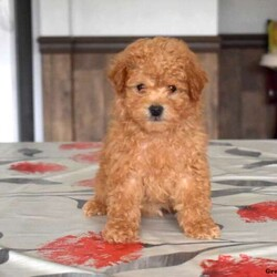 Asher/Male /Male /Bich-poo Puppy