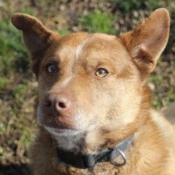 Buddy/Cattle Dog/Male/Adult