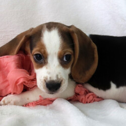 Ryder/Beagle/Male/,Introducing Ryder! This little head turner can't wait to meet you. Ryder comes from a long line of incredible dogs. Isn't he a dream? You can tell that Ryder knows he is a cutie. He struts around the house like he is the king of the castle. Ryder will be sure to come home with his vaccinations up to date and the vet's stamp of approval. Don't miss out on a chance to bring him home. Puppies like this don't come around often.