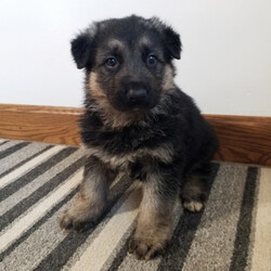 Hoover/German Shepherd Dog/Male/