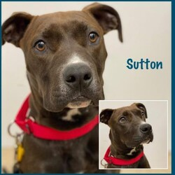 Adopt a dog:Sutton/Mixed Breed/Male/Young,Sutton is a 7-month-old puppy who is very sweet. He had a hard start in life, and needs a home that's loving and patient. Being around his people is his favorite thing, and he gets comfort from another confident dog in the home. He would like a fenced yard to run, but is learning to walk on a leash. A quiet home environment where his people are around often, and will give him lots of positive reinforcement for his confidence, would be ideal. He's not a fan of going in a kennel, and does just fine left out free in the home when his people are gone. He really would love to find a loving and kind home where he will be a valued family member.    If interested in Sutton, please apply at: AHeinz57.com