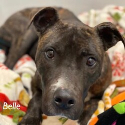 Adopt a dog:Belle/Terrier/Female/Adult,