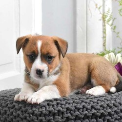 Crystal/Female /Female /Welsh Corgi Mix Puppy