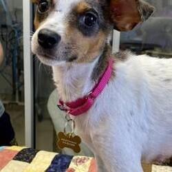 Adopt a dog:Gypsy/Chihuahua/Female/Adult,