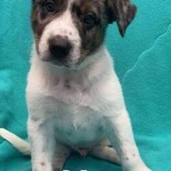 Adopt a dog:Dr. Egon/Australian Shepherd/Male/Baby,