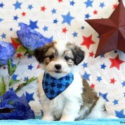 Cody/Male /Male /Maltese Mix Puppy