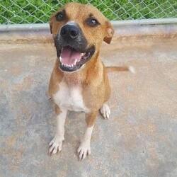 Adopt a dog:Mina/Pit Bull Terrier/Female/Adult,