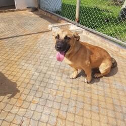 Adopt a dog:Kaiba/Affenpinscher/Male/Adult,