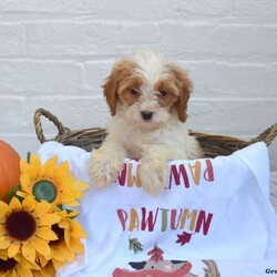 Abby/Female /Female /Cavapoo Puppy,Here comes Abby! This adorable Cavapoo puppy is one of a kind and can't wait to fill your home with smiles. Abby is family raised with kids and will always be at your side. She is vet checked and up to date on shots and wormer. She also comes with a health guarantee provided by the breeder! To welcome this perfect pooch into your home please contact Anna Mary today.
