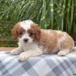 Georgia/Female /Female /Cavapoo Puppy,Meet Georgia, a cuddly little Cavapoo puppy who loves to run and play! This social butterfly is family raised with children and enjoys getting lots of love and attention. She is vet checked, up to date on shots and wormer, plus comes with a health guarantee provided by the breeder. To find out how you can welcome Georgia into your heart and home, please contact the breeder today!