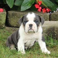 Ebony/Female /Female /English Bulldog Puppy,Meet Ebony, a cuddly English Bulldog puppy who is being family raised with children. This energetic girl loves to explore and can't wait to share lots of adventures with you! She is vet checked, up to date on shots & wormer plus the breeder provides a 30 day health guarantee for Ebony. And, she can be registered with the AKC. To learn more about this cutie, call the breeder today!