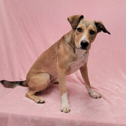 Adopt a dog:SUMMER/Shepherd/Female/Adult,SUMMER: 2 years old, 40lbs, Shepherd/Collie Mix, Spayed Female  Please Note: We can not guarantee breed mix. It is an educated guess.  Home Recommendation: Doing great in the city. Could live in the city or out in the burbs. Needs an active home, lifestyle. Not bouncing off the walls with energy but a few good walks a day are important. Summer is medium to high active which means at home she's all chill but ready to take life for all that it is when she's outside. She needs about 90 minutes of outdoor time a day. She would be a good fit for an active person who has dog sitting experience or fostering experience. She's a pretty good girl.   What is a Shepherd?: A shepherd is considered a type of working dog. They were originally used to herd sheep. They are known for their intelligence, trainability and obedience. For this reason they are often used for disability, assistance, search and rescue and assistance to police and military. Due to their intelligence, it is important to keep this type of pup mentally stimulated whether that be long walks, training or fun games such as fetch.   What does owning this dog entail?: It's going to be very important to keep this pup medium to high energy canine busy both physically and mentally -- that includes a minimum of 90 minutes of outdoor time every day for this high energy dog. A perfect walking, hiking, and running buddy. We strongly recommend a basic training course to get a more solid feel for this pup's individual needs and how to best communicate with each other. A well trained dog is a happy dog.   Personality: Life of the party! Has no social anxiety - wants to be friends with every person and dog she meets.   His Foster Mom Says: