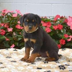 Loki/Male /Male /Rottweiler Puppy