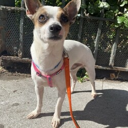 Adopt a dog:PATRICK/Jack Russell Terrier/Male/Adult,PATRICK: 2 years old, Jack Russell Terrier Mix, 10.6lbs, Neutered Male  Please Note: We can not guarantee breed mix. It is an educated guess.  Home Recommendation: Doing great in the city. Could live in the city or out in the burbs. Needs a medium active home, lifestyle. Not bouncing off the walls with energy but a few good walks a day are important. A good fit for an adopter that doesn't have a ton of dog experience.    What Is a terrier: There are many kinds of terriers, and they were originally bred to hunt vermin. The name originates from the Latin word terra, meaning earth or soil -- makes sense for a pup digging for animals like rats. Terriers are known for being smart and fearless. They are great for active families and for families that enjoy teaching tricks to their pups.    What does owning this dog entail?: Don't let their size fool you, terriers can be all dog and then some. This dog is considered a working breed since their original purpose was to do a job. It's going to be very important to keep this pup busy both physically and mentally -- that includes a minimum of 60 to 90 minutes of outdoor time every day. A perfect small sized walking, and hiking buddy. We strongly recommend a basic training course to get a more solid feel for this pup's individual needs and how to best communicate with each other. A well trained dog is a happy dog. Terriers make great dogs for owners who are interested in teaching their dog some agility or attending agility classes. They're generally not awesome matches for homes with pets like hamsters or mice.   Personality: Can be a little shy at first. Once comfortable makes a great buddy and even a better cuddle partner.   His Foster Dad Says: