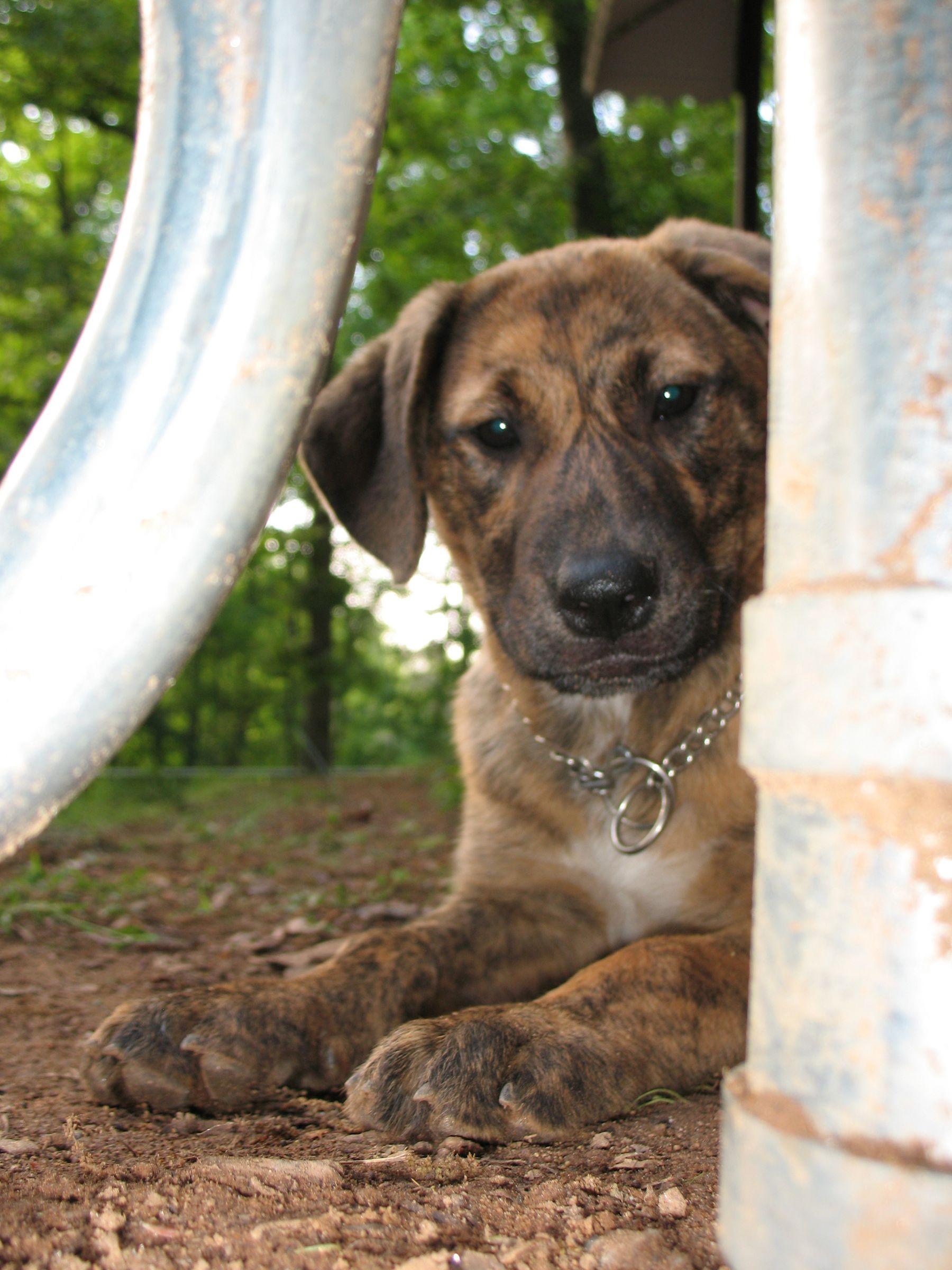 Plott Hound Information Dog Breeds At Dogthelove